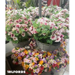 STRAITS Petunia Hanging Basket MIXED | 418157